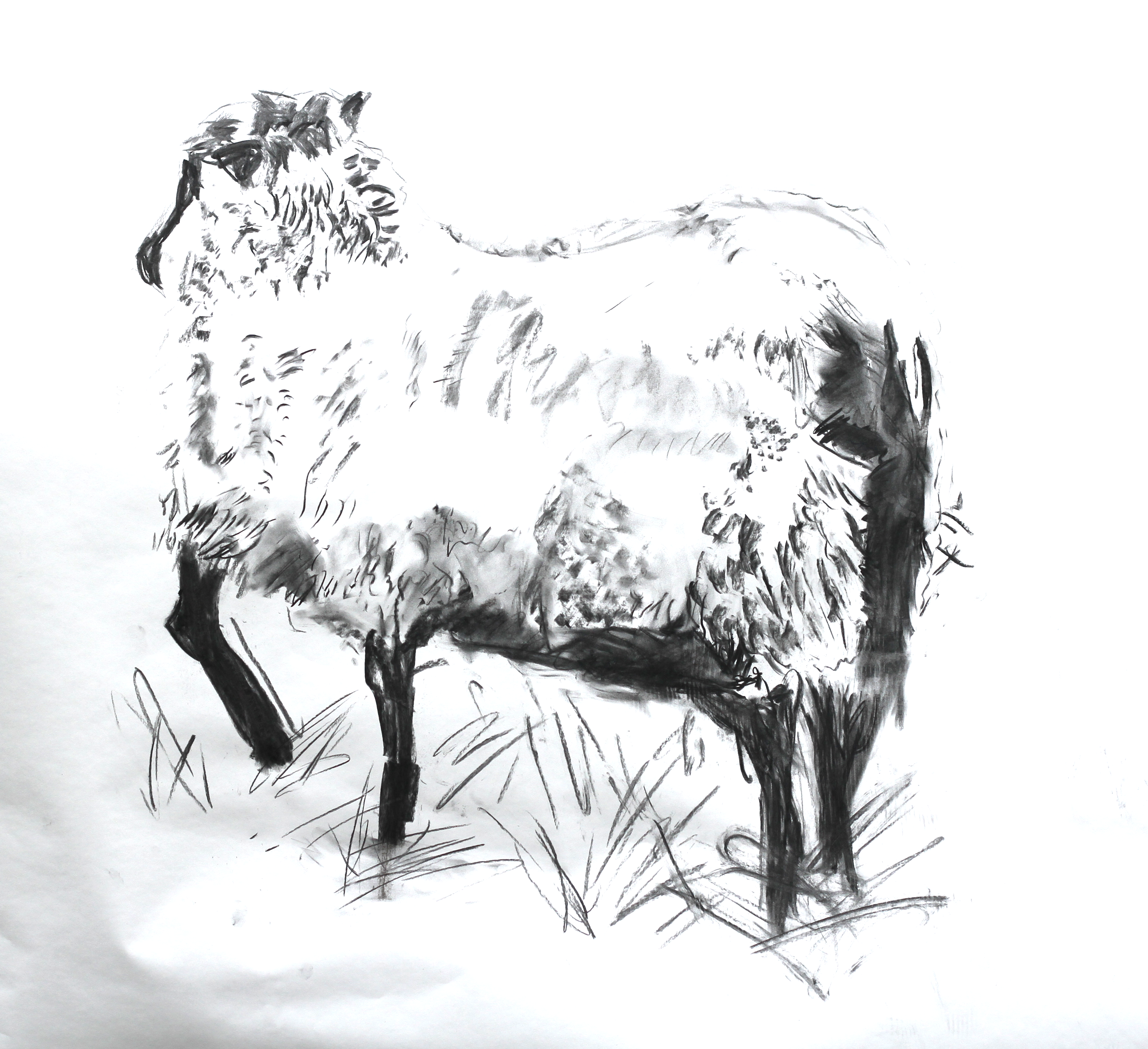 A charcoal sketch of a sheep with its rear turned toward the viewer. Its head looks deeper into the paper, looking the same way that we are looking, so we can only see the back of the head and the ears. Its wooly back is drawn with quick, sparse charcoal marks; darker areas are drawn at the rear and under the belly. The sheep is drawn standing on three legs; the fourth (the front-left) is held up delicately as if injured.