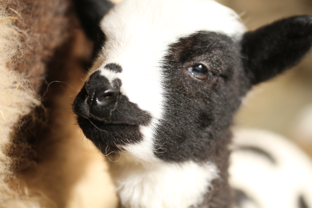 a photograph of the same lamb's face with black and white spots, looking at the viewer
